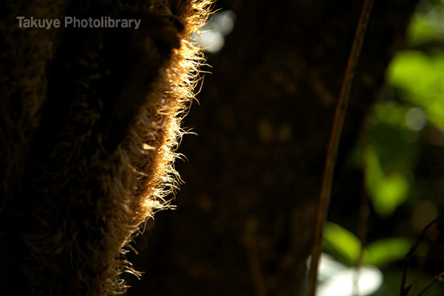朝陽で輝くヒカゲヘゴの綿毛