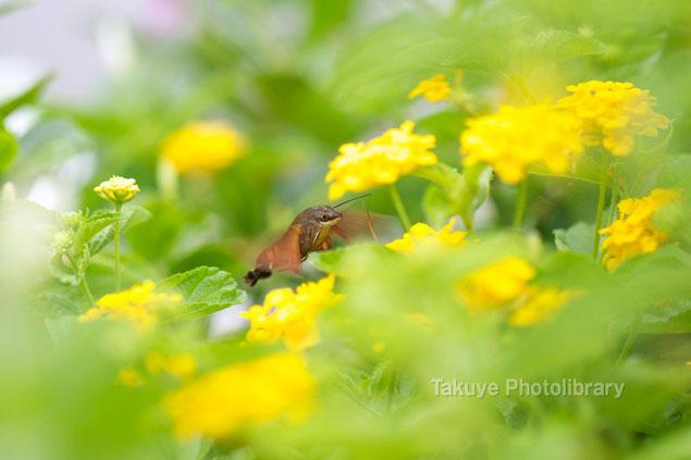 オキナワクロホウジャク 沖縄の昆虫