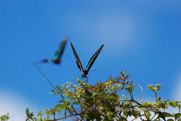 アオスジアゲハ 沖縄の昆虫