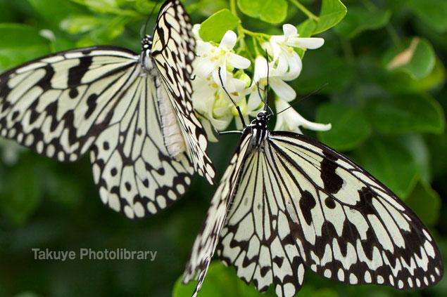 オオゴマダラ 沖縄の蝶 沖縄写真