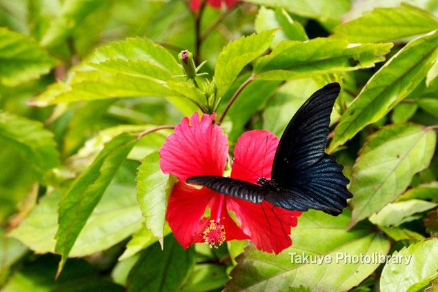 ナガサキアゲハ 沖縄の昆虫