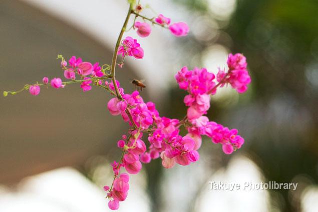 アサヒカズラ 沖縄の花