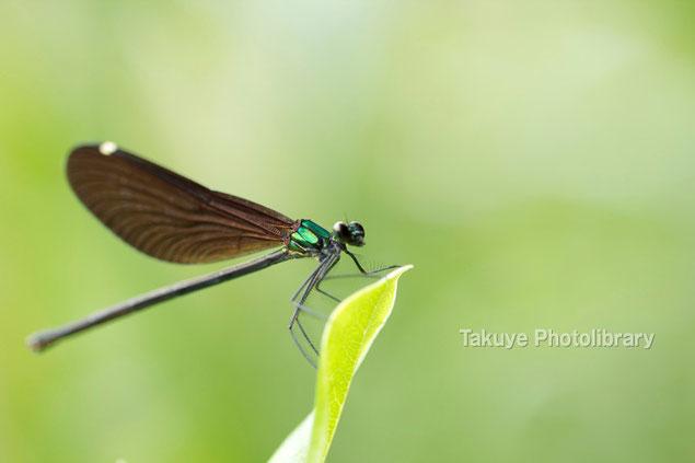 リュウキュウハグロトンボ♀ 沖縄の昆虫