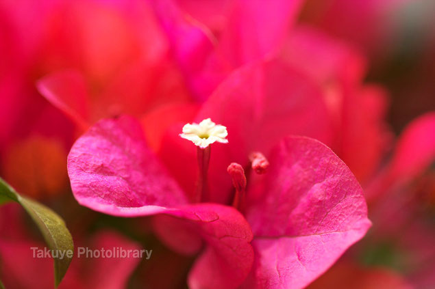 ブーゲンビリア 沖縄の花