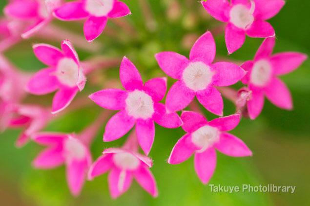 ペンタス 沖縄の花