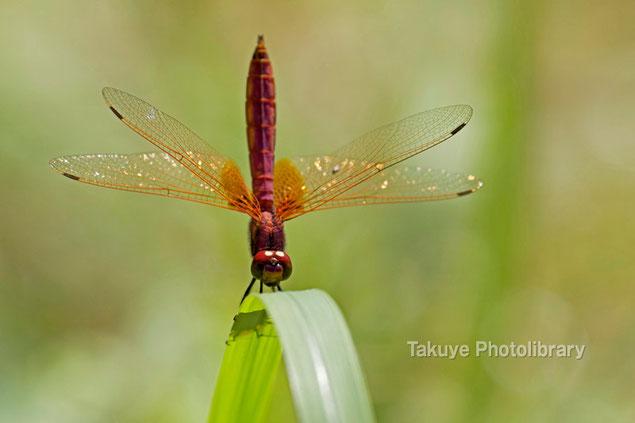 ベニトンボ ♂ 沖縄の昆虫