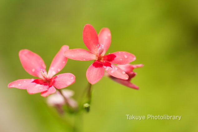 ヒメヒオウギアヤメ マクロ撮影 沖縄の花