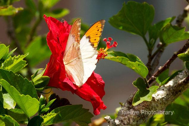 ツマベニチョウ 沖縄の昆虫