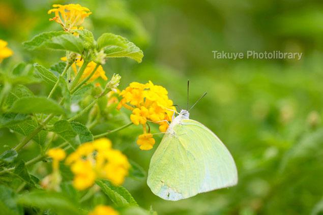 ウスキシロチョウ 沖縄の昆虫