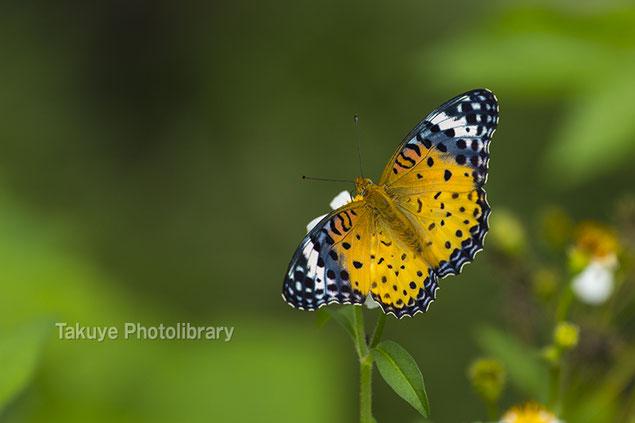 ツマグロヒョウモン 沖繩の蝶