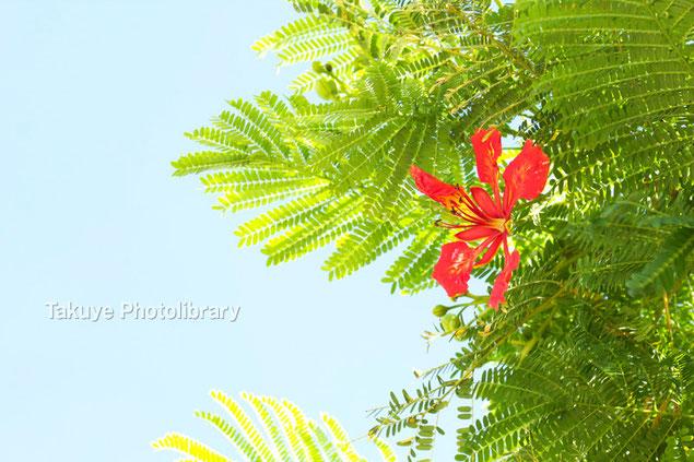 ホウオウボク 沖縄の花