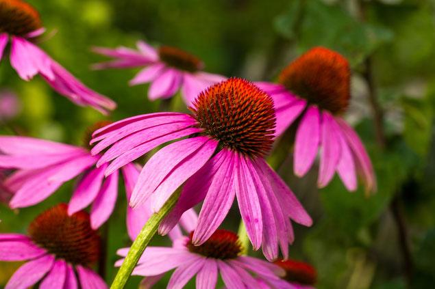 Blüten des roten Sonnenhuts (Echinacea purpurea). Bild: Adobe Stock