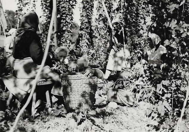 Hopfenernte um 1950 - Die Dolden werden von Hand gepflückt und sortiert