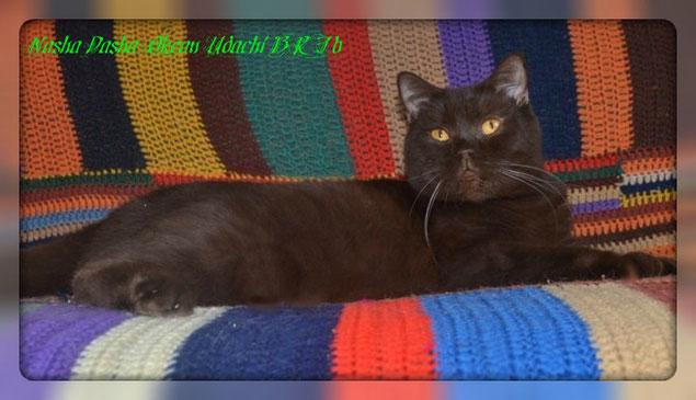 шоколадная кошка Даша,носительница окраса циннамон