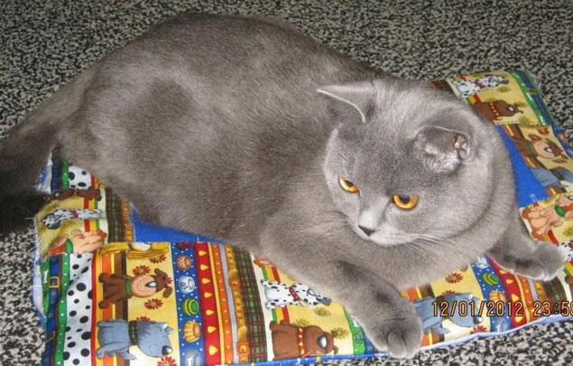 британская короткошерстная кошка Алекса
