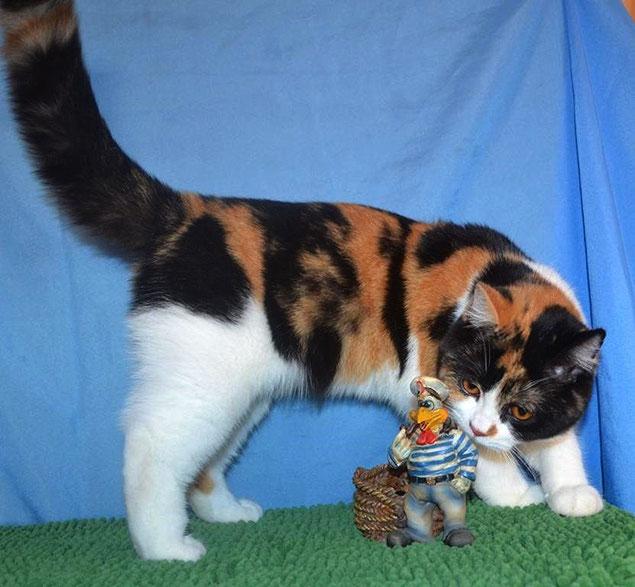 Британская биколорная кошка Шанечка