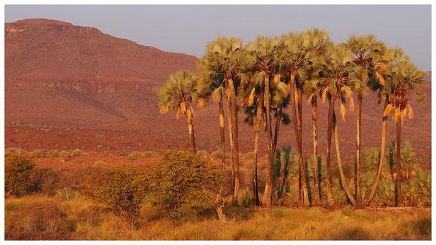 Palmier makalani de Namibie
