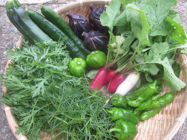 昨年の野菜例です。十全ナス、きゅうり、ズッキーニ、春菊、おかひじき、ピーマン、ししとう、ラディッシュ、かぐらなんばん