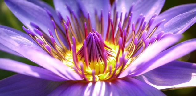 lila Blume