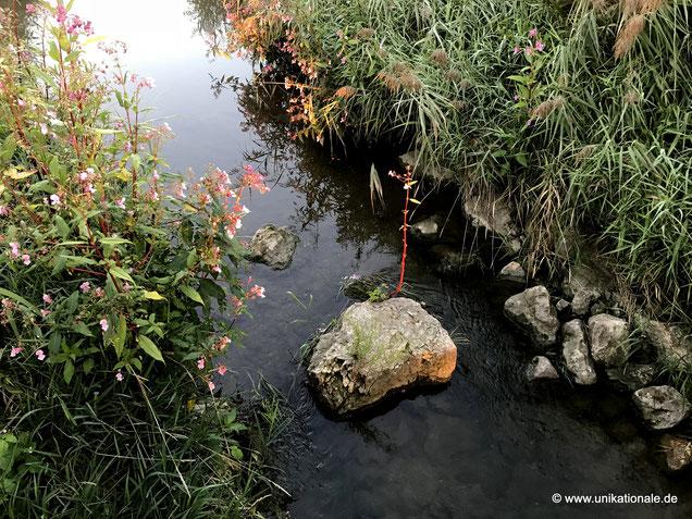 Pflanze an einem Stein mitten im Fluss Abens (1)