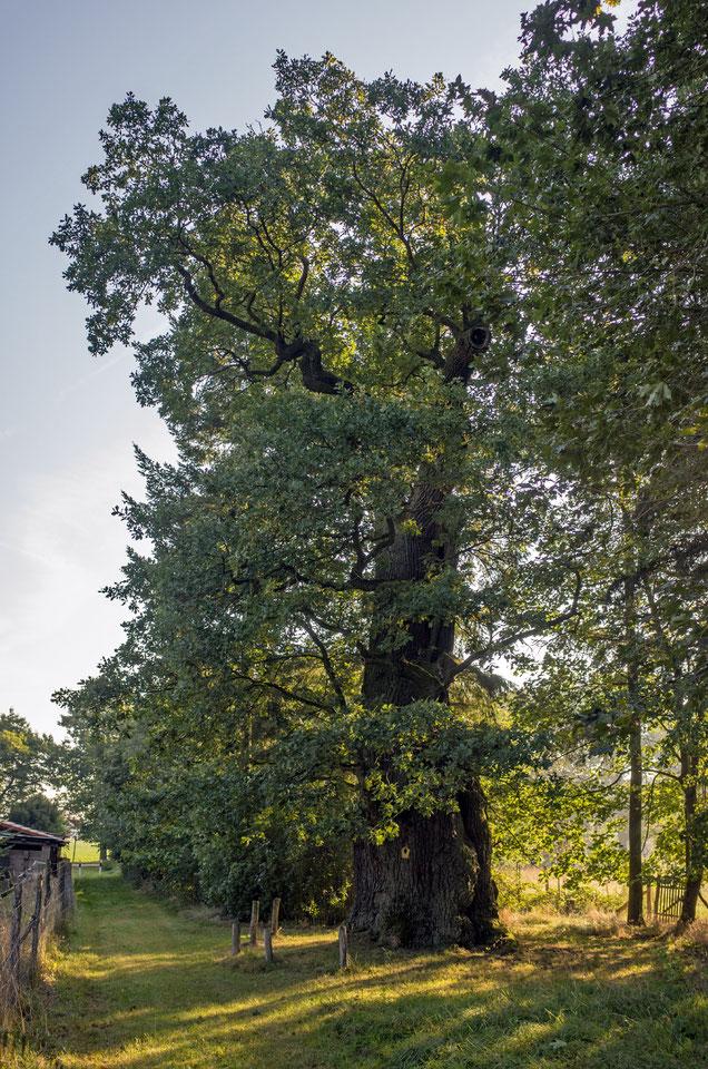 Tausendjährige Eiche bei Bärenklau