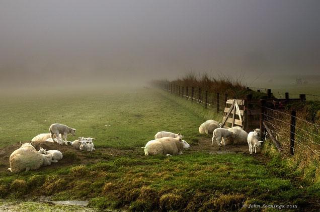 256. Texel schapen in de mist