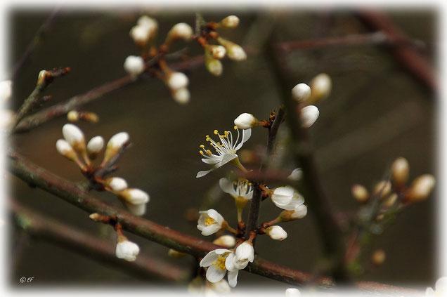 Die Knospen & Blüten der Wilden Kirsche