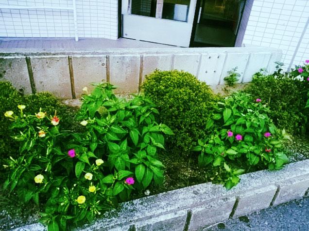 さいはま園玄関前に咲く、ビビットな「オシロイバナ」