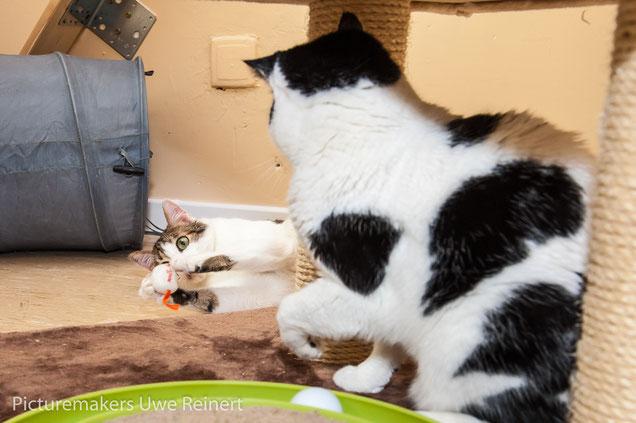 Vergesellschaftung von Katzen  Katzenhotel