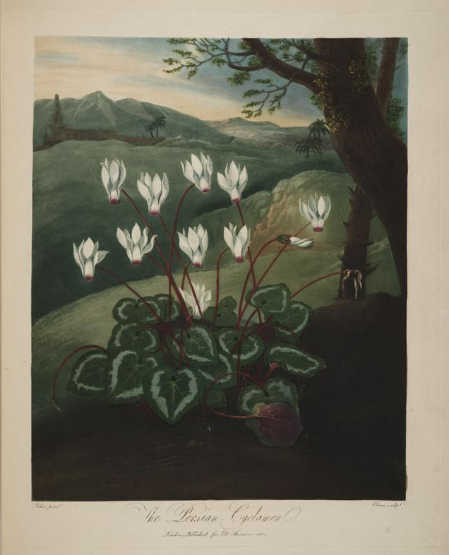 "R.J.Thorton ""The Persian Cyclamen"" in Temple of Flora, 1808"