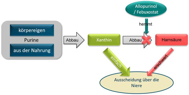 Schematischer Prozess des Abbaus von Purinen unter Febuxostat / Adenuric