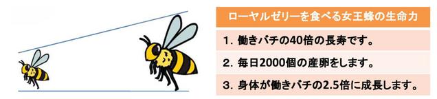 女王蜂は生ローヤルゼリーだけを食べることで、働きバチの3~4倍のサイズとなり毎日2,000個も産卵し、寿命も働きバチ40倍も長寿です。この事実が、生ローヤルゼリーが人の寿命を長くする可能性を持つという見解を招いています。