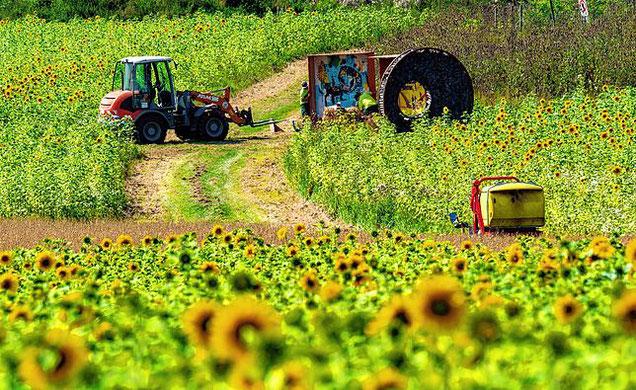 Das große Sonnenblumenfeld von Familie Wildi auf den Bertholdshöfen.|  Bild: Hans-Juergen Goetz