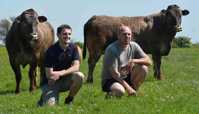 Philippe et Jérémy GUINOT devant leurs vaches Bazadaises sur les marais d'Oléron