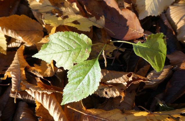 """Abb. 3 """"Verspäteter"""" Buchensämling in Herbstlaub."""