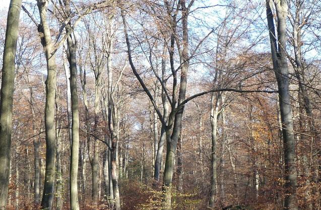 Abb. 1 Junge Buchen im Mühlenbusch bei Rosellerheide (Neuss)