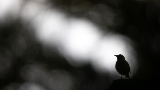 Star, naturfotografie, sebastian vogel, vogel-naturfoto