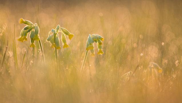 Sebastian Vogel, Nationalpark Hainich, Naturbild, Schlüsselblume, Flares