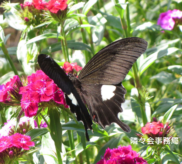 ∞ 美女撫子(アメリカ撫子)と蝶