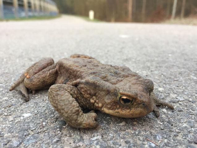 Erdkröte an Straße. Foto: Tanja Seid