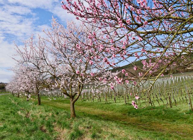 Mandelblüte Rheinland Pfalz