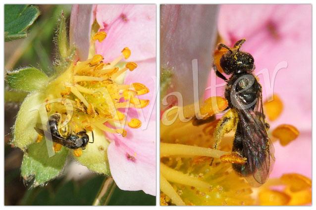 21.05.2016 : Furchenbiene an einer (Zier)Erdbeerblüte