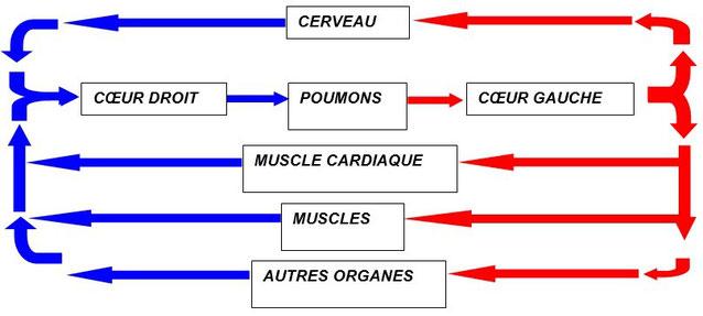Schéma simplifié de la circuation sanguine. Source : M.Clerc.