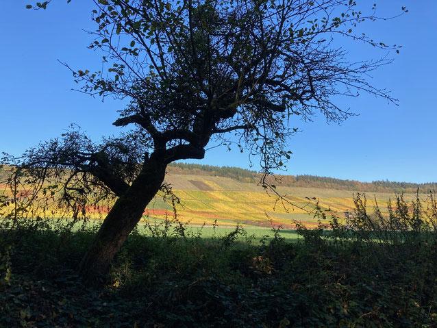 """Uralte Bäume säumen die Wanderwege. Hinten sind die parabolförmig und nach Süden ausgerichteten Weinberge am """"Ufer"""" eines bereits vor Jahrtausenden verschwundenen Moselbett."""