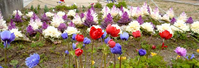 """""""葉ぼたん""""が春の花アネモネなどと共存。「古井戸公園」(かやの中央東南角)で。"""