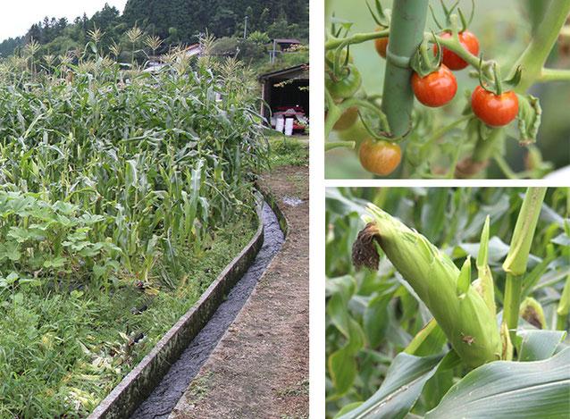 田舎料理いろり庵の農園 トマト、トウモロコシなど