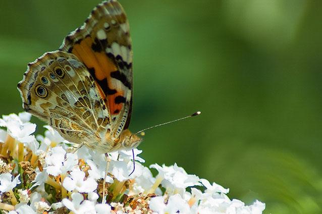 Macro, Atalanta vlinder