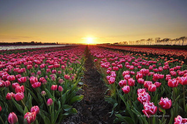 291 Tulpenveld bij zonsopkomst