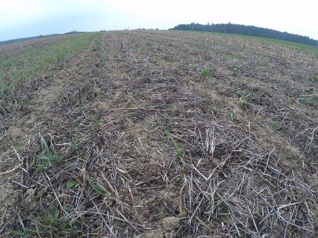 Im Herbst gezogene Strip-Till-Spuren, dazwischen unbearbeiter Boden mit abgestorbener Begrünung als Mulchschicht