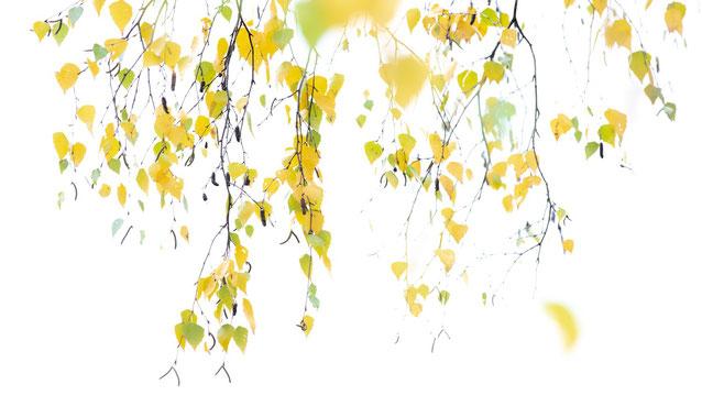 Pfälzerwald, birke, laub, herbst, gelb, blätter